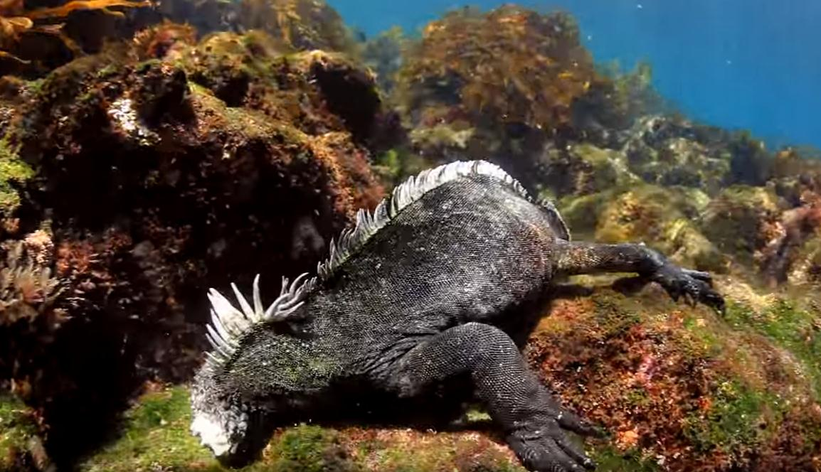 galapagos-liveaboard-diving-with-baby-godzila