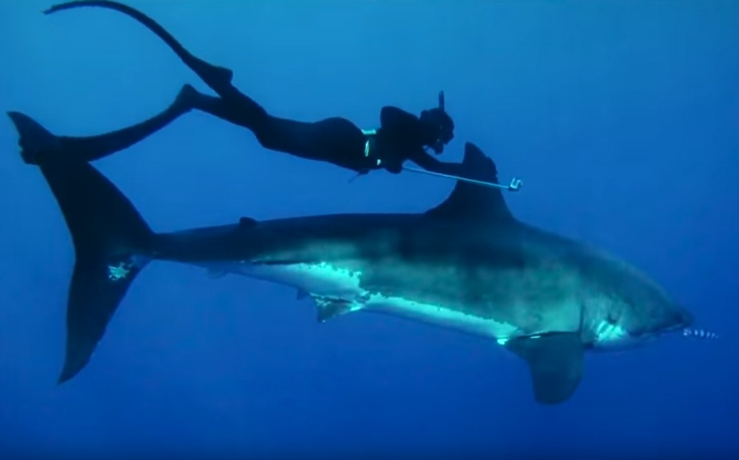 Great White Shark Conservation, Incredible Friendship With Diver Captured