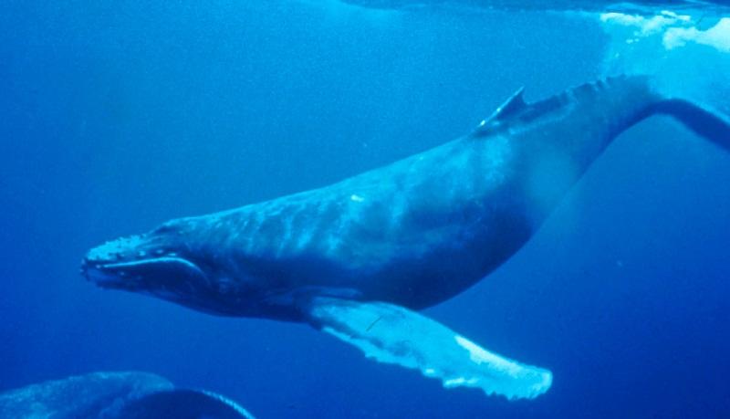 Humpback-Whale-underwater_shot