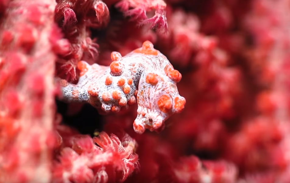 The smallest seahorse in the world
