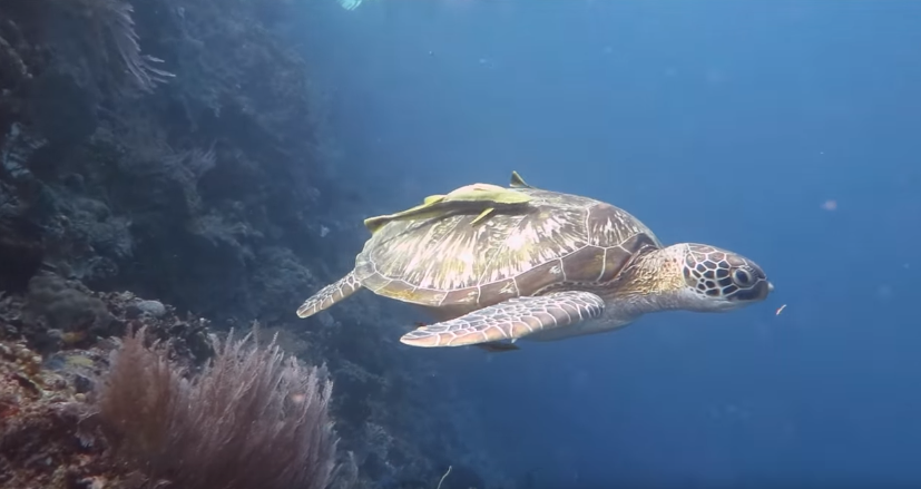 key west florida scuba diving face to face with sea turtle
