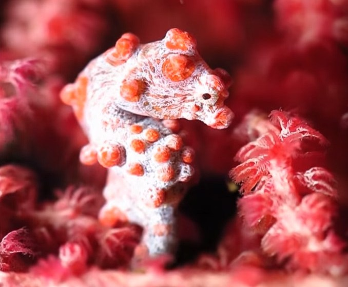pygmy seahorses,what do seahorses look like,what do seahorse eat,what are seahorses,how long do seahorses live,seahorses habitat