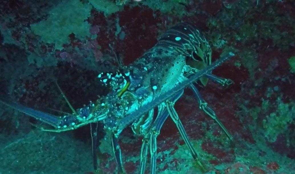 spiny lobster tripadvisor roatan hotels, tripadvisor roatan,-min