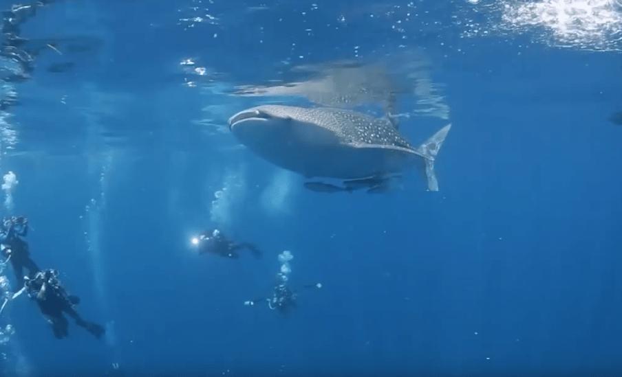 whale shark at Kakaban the Hidden Indonesia Scuba Diving Resorts-min