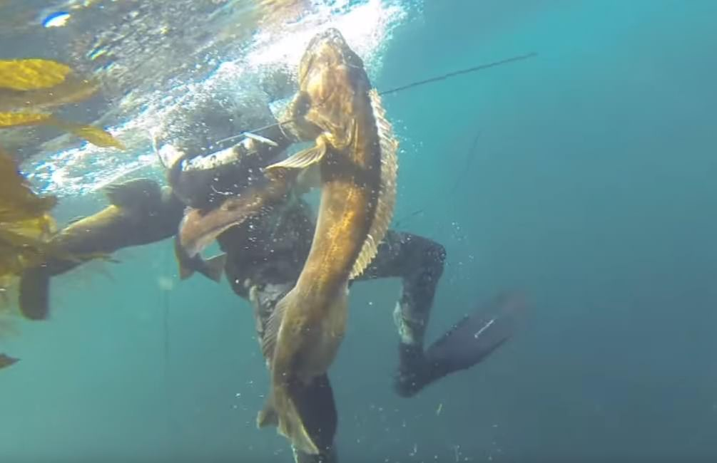 Lingcod Spearfishing spearfishing lingcod washington