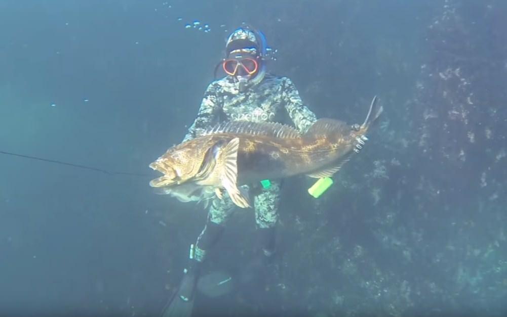 Spearfishing Lingcod Regulation