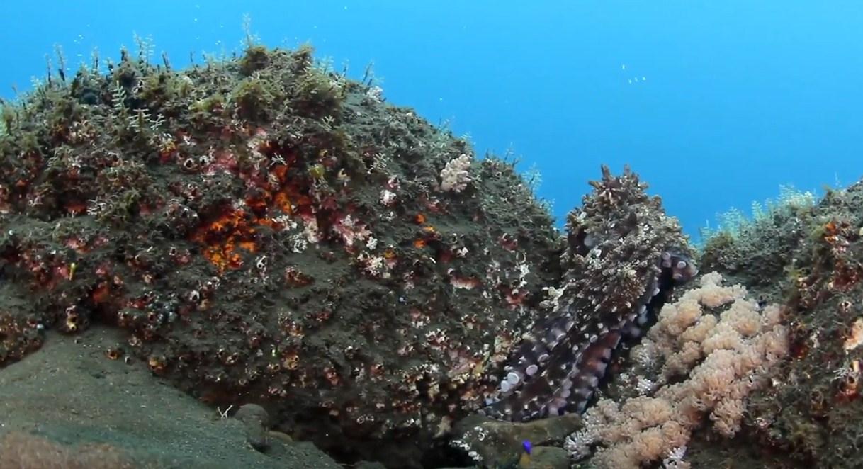 camuflase octopus komodo island liveaboard diving