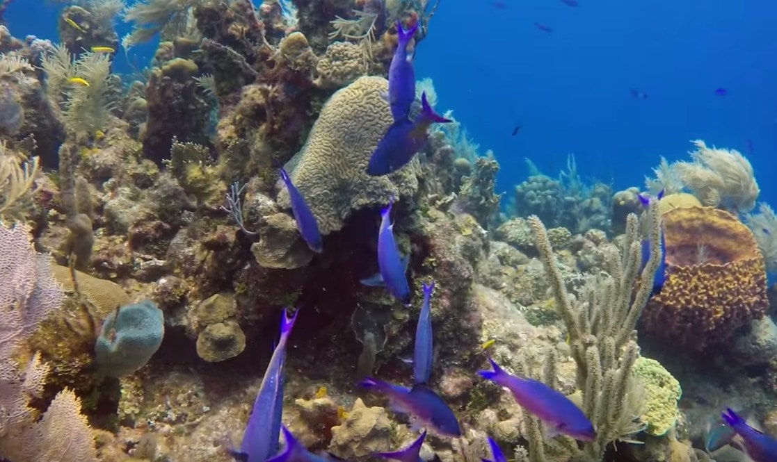 Blue fish The Paradise of honduras Scuba Diving-min