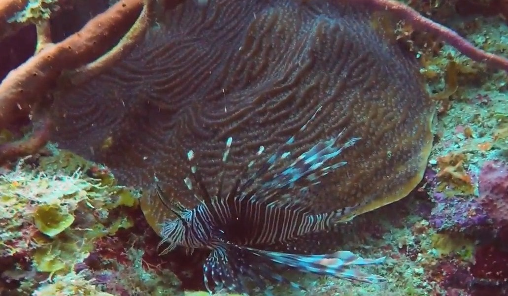 Lionfish utila dive shops, utila dive resorts, roatan west end dive shops,-min
